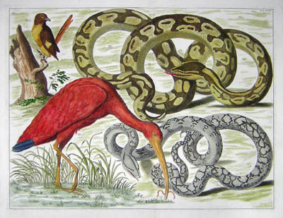 Seba Pythons And Birds
