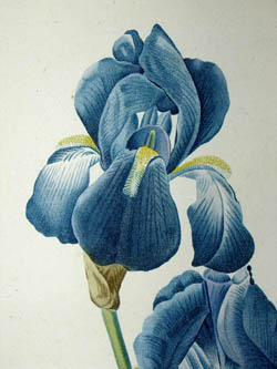 George Glazer Gallery - Antique Botanical Prints - REDOUTE Iris Study