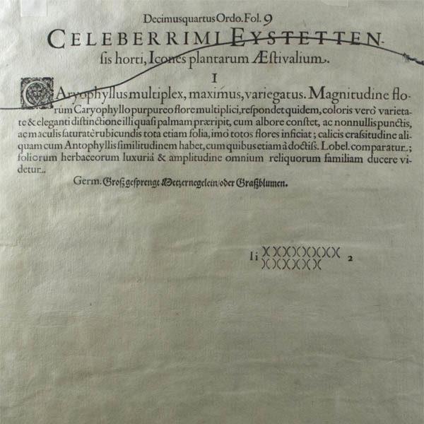Carnations, Fol. 9, text verso