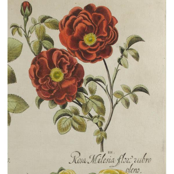 Detail of III. Rosa Milesia flore rubro pleno
