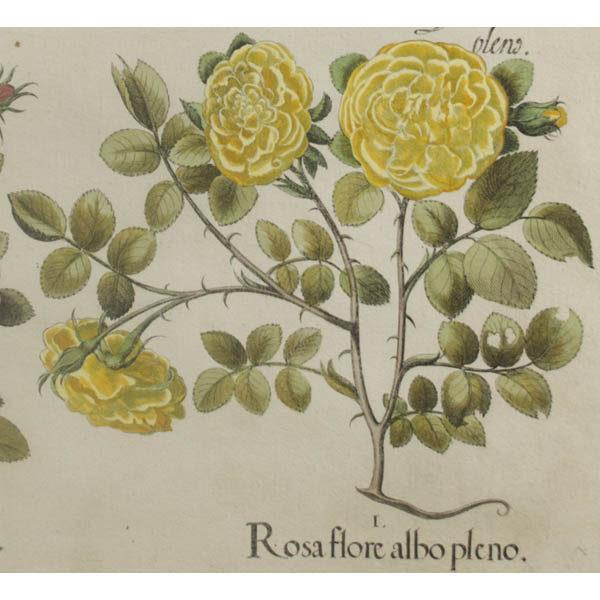 I. Detail of Rosa flore albo pleno