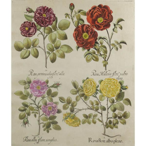 Besler Roses antique print