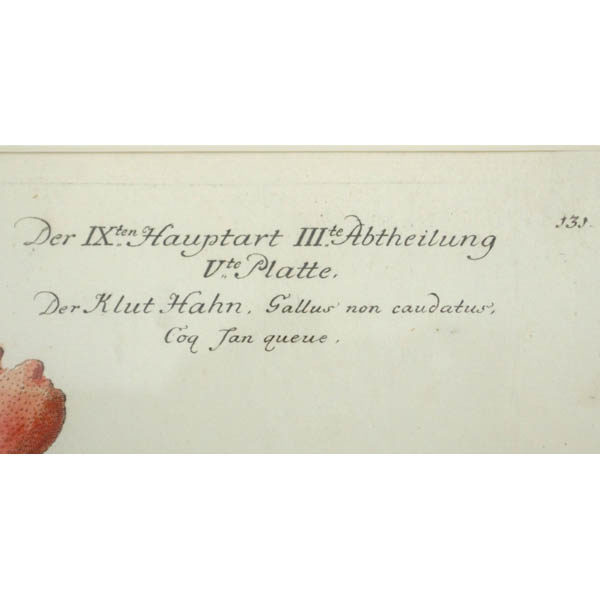Der Klut Hahn, Gallus non caudatus, detail