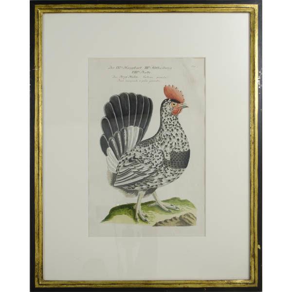 Das Krup Huhn, Gallina pumila, 134