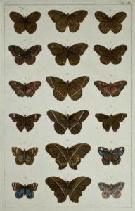 Seba Butterflies Plate 14
