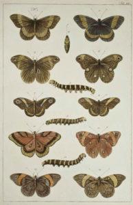 Seba Butterflies Plate 15