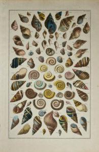 Seba Shells Plate 39