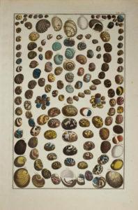 Seba Shells Plate 41
