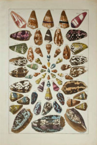Seba Shells Plate 42