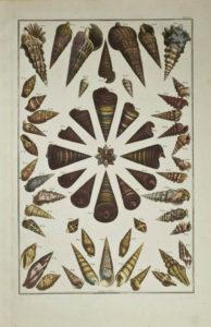 Seba Shells Plate 50