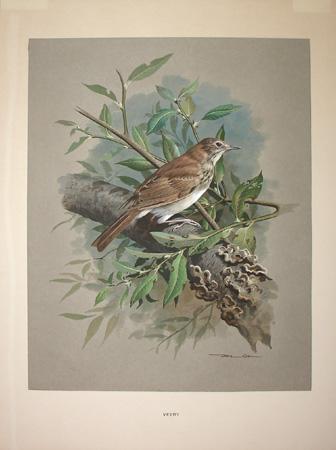 George Glazer Gallery Antique Bird Prints Basil Ede Veery