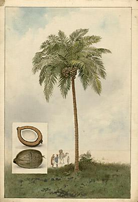 George Glazer Gallery Antique Botanical Prints Artemas