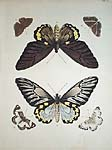 from Exotic Butterfliers from Three Parts of the World: Asia, Africa and America