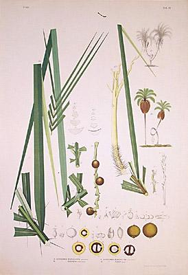 Acrocomia microcarpa, A. odorata, A. mokayayba, A, totay
