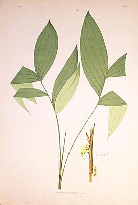 Amylocarpus xanthocarpus