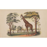 Giraffes, Anglo-Indian watercolor