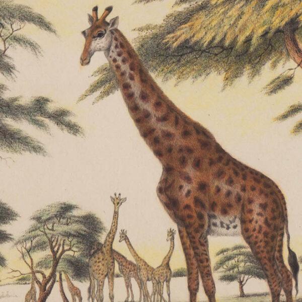 Giraffes, detail