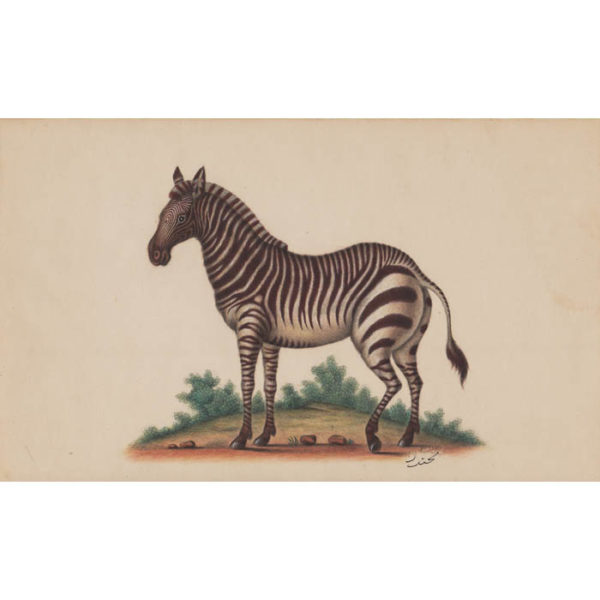 Zebra, Anglo-Indian watercolor