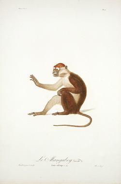 Le Mangabey (Sold)