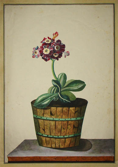 Auricula Plant in a Wooden Planter