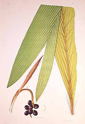 Bactris bifida