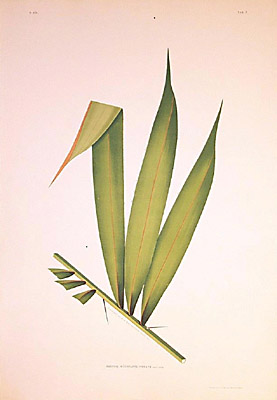 Bactris interrupte-pinnata