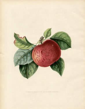 Pomme Esopus Spitzenburgh