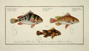 Anthias Maculatus, Orientalis, & Lineatus