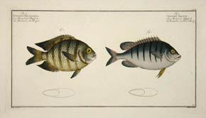 Chaetodon Bengalensis & Chaetodon Mauritii