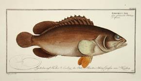 Epinephelus Afer
