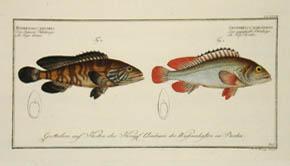 Epinephelus Bruneus & Epinephelus Marginalis