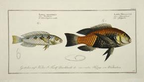 Labrus Malapterus & Labrus Melagaster
