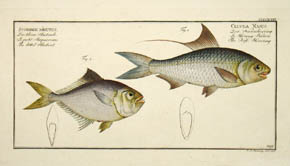 Scomber Minutus & Clupea Nasus