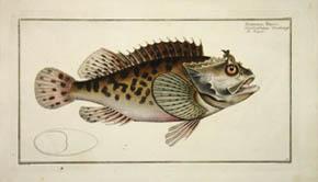 Scorpaena Porcus (Sold)