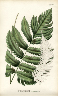 Javan Fern Studies