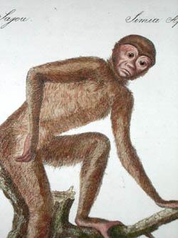 Pair of Monkey Studies
