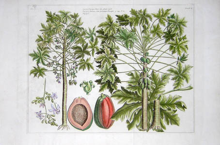 Papaya Botanical Study