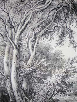Abele Trees (White Poplar), Pl. 19, detail