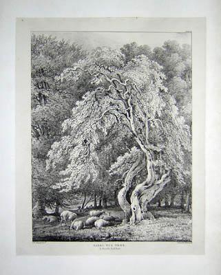 Hazel Nut Tree in Knowle Park, Kent, Pl. 20