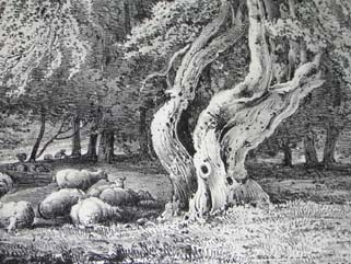 Hazel Nut Tree in Knowle Park, Kent, Pl. 20, detail