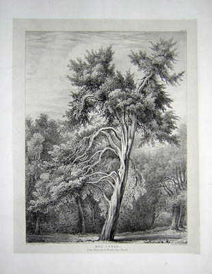 Red Cedar in the Grounds at Wimbledon House, Pl. 21