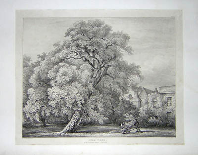 Cork Tree at the Bishops Palace, Fulham, Pl. 23