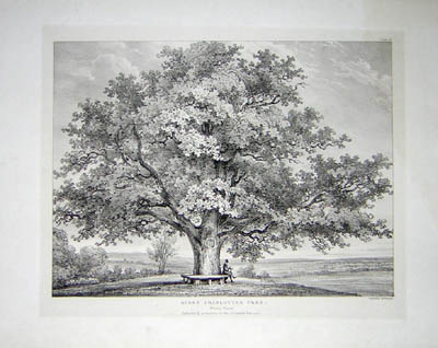 Queen Charlottes Tree, Windsor Forest, Pl. 26