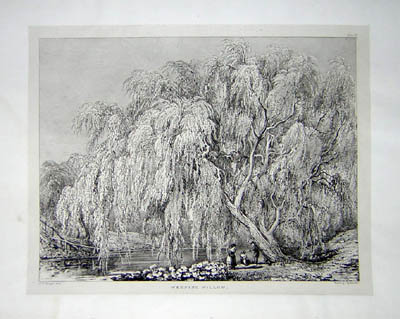 Weeping Willow, Pl. 27