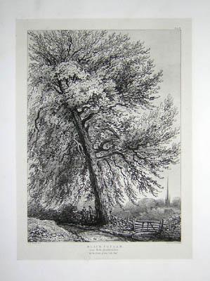 Black Poplar, Near Rofs. Herefordshire, Pl. 28
