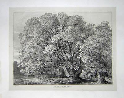 Chestnut Trees, Suning Hill Park, Windsor Forest, Pl. 30
