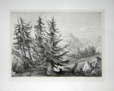 Spruce Fir, Pl. 6
