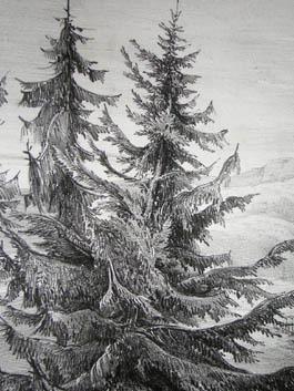 Spruce Fir, Pl. 6, detail