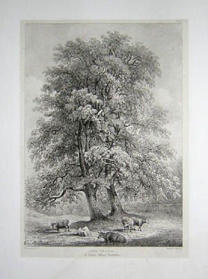 Ash Trees at Bolton Abbey, Yorkshire, Pl. 8