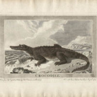 Crocodile, Animals Drawn from Nature